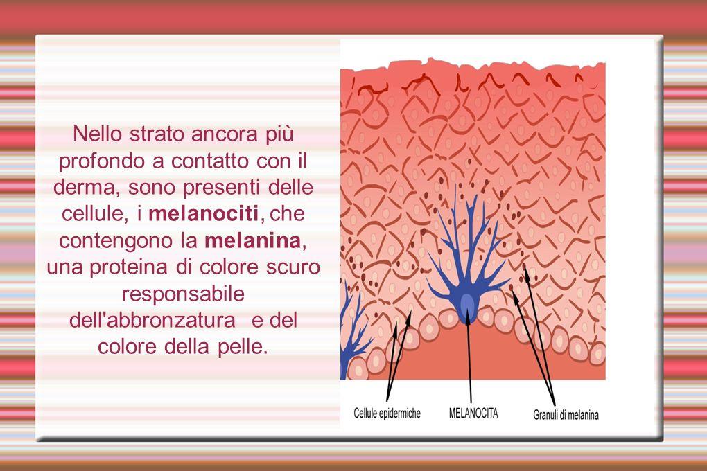 IL DERMA Il derma, subito sotto l epidermide, è uno strato formato da tessuto connettivo, resistente ed elastico, ricco di vasi sanguigni e terminazioni nervose che terminano con i recettori sensoriali, responsabili delle sensazioni tattili, termiche e di dolore.