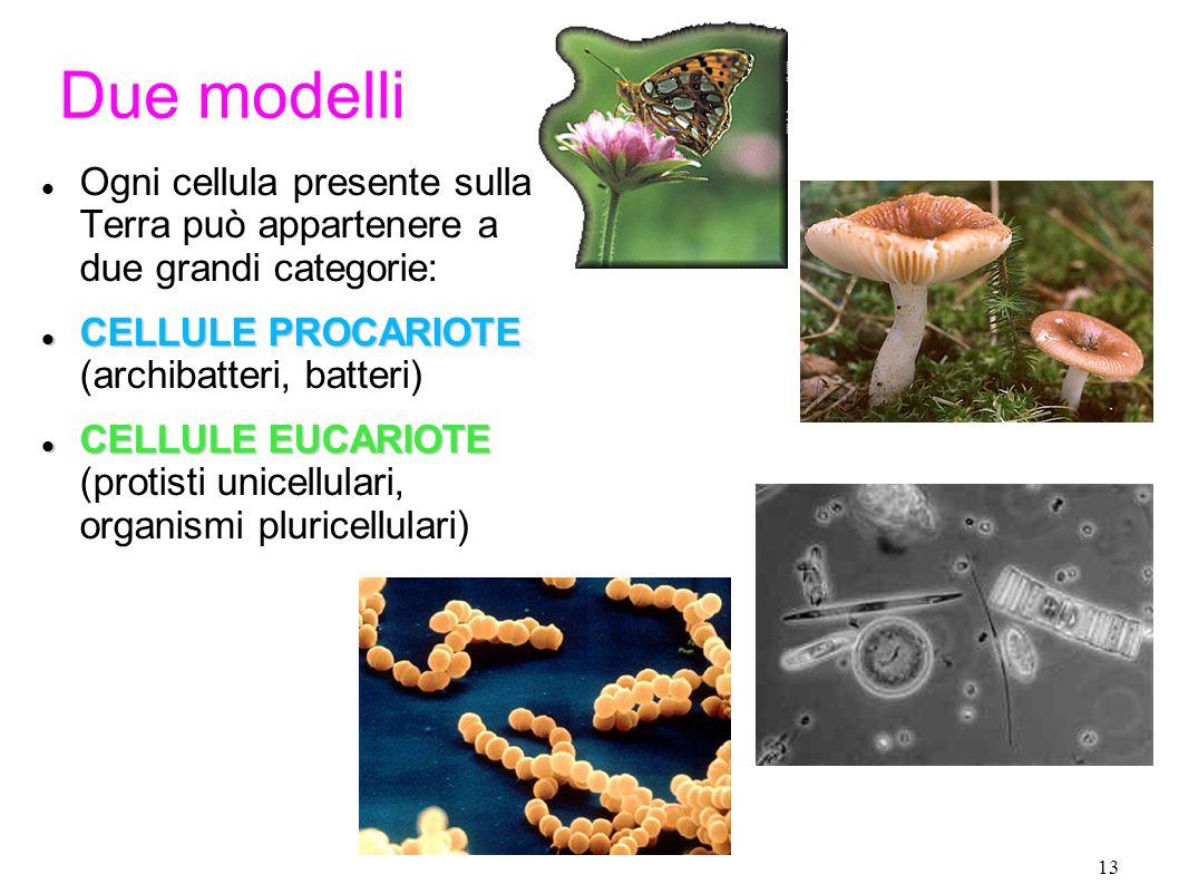 13 Due modelli Ogni cellula presente sulla Terra può appartenere a due grandi categorie: CELLULE PROCARIOTE CELLULE PROCARIOTE (archibatteri, batteri)