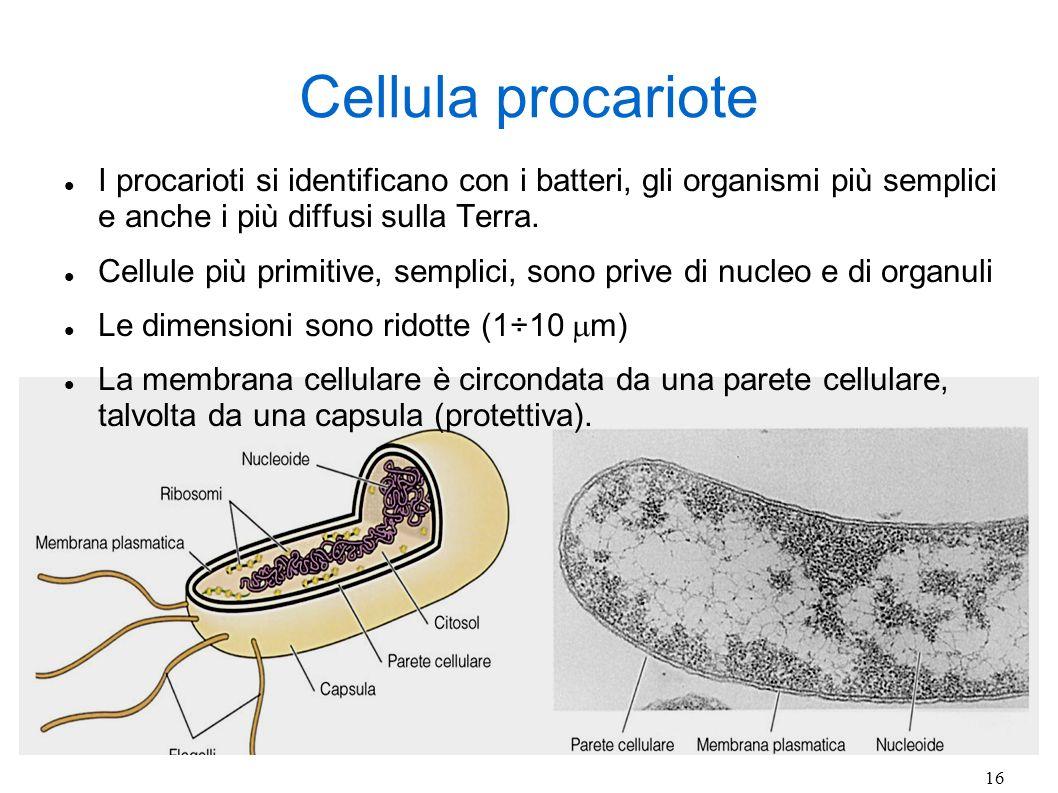 16 Cellula procariote I procarioti si identificano con i batteri, gli organismi più semplici e anche i più diffusi sulla Terra. Cellule più primitive,