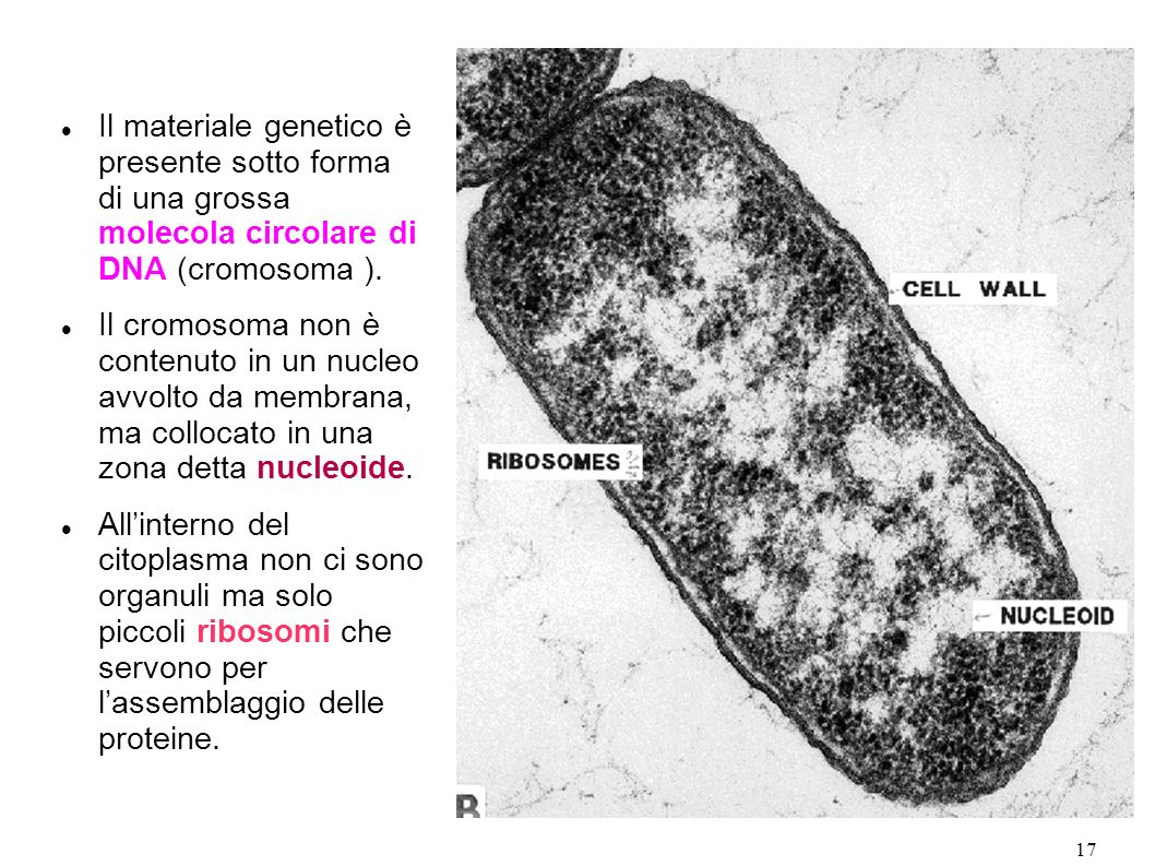 17 Il materiale genetico è presente sotto forma di una grossa molecola circolare di DNA (cromosoma ). Il cromosoma non è contenuto in un nucleo avvolt