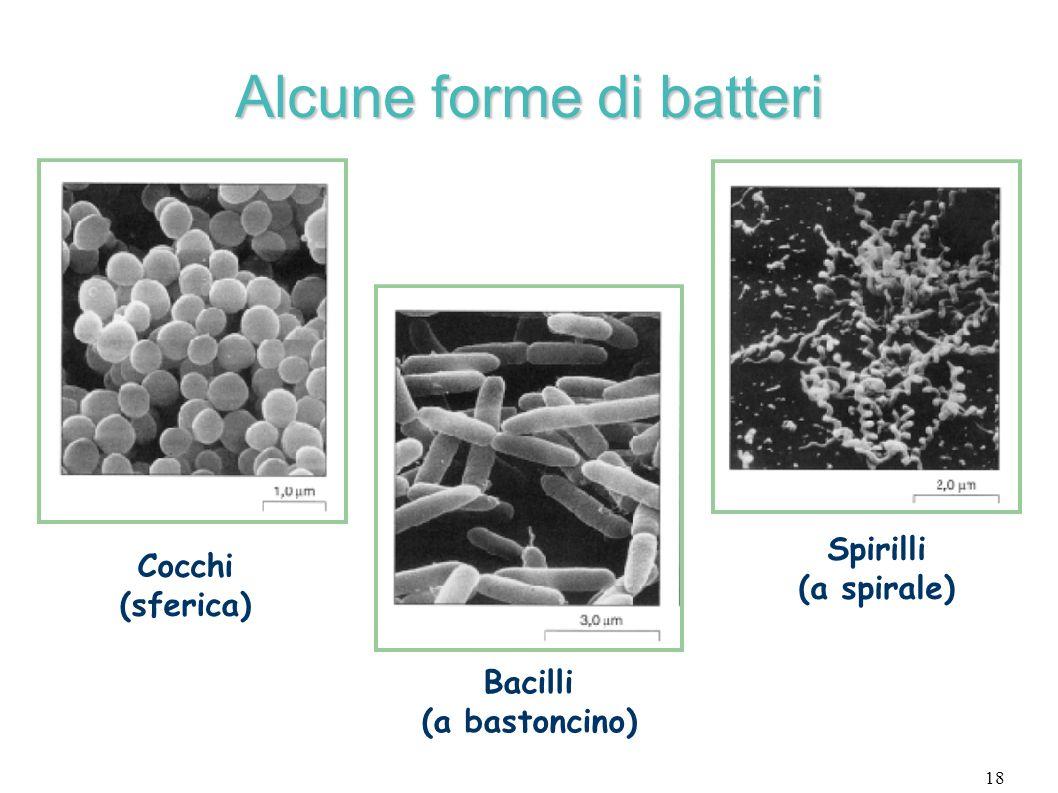 18 Alcune forme di batteri Cocchi (sferica) Bacilli (a bastoncino) Spirilli (a spirale)