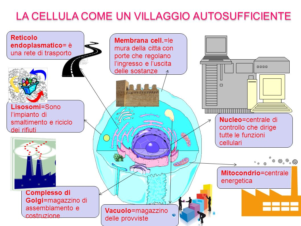 LA CELLULA COME UN VILLAGGIO AUTOSUFFICIENTE Mitocondrio=centrale energetica Nucleo=centrale di controllo che dirige tutte le funzioni cellulari Membr