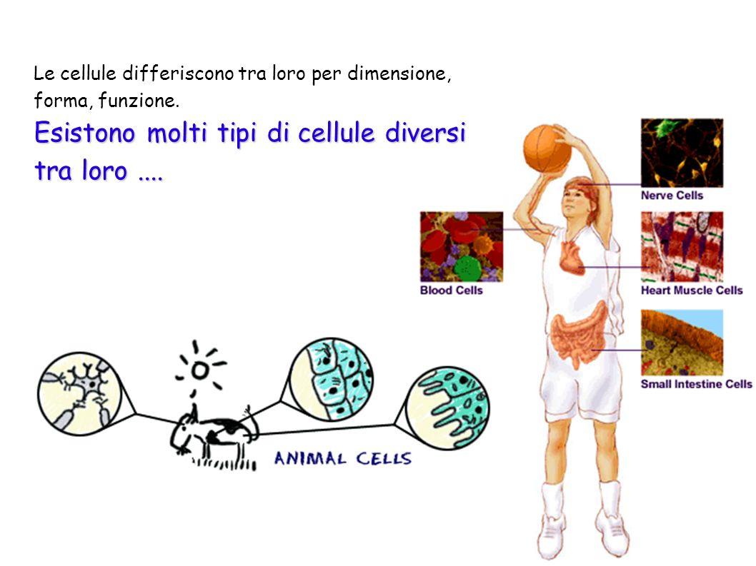6 Le cellule differiscono tra loro per dimensione, forma, funzione. Esistono molti tipi di cellule diversi tra loro....