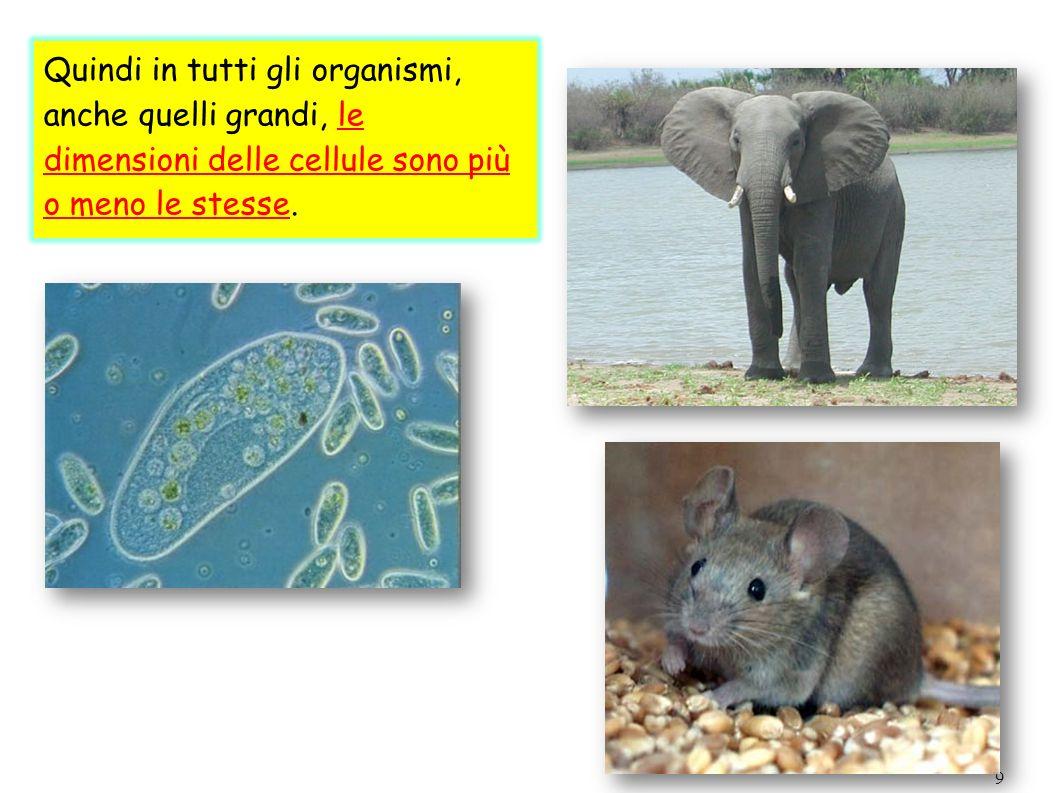 9 Quindi in tutti gli organismi, anche quelli grandi, le dimensioni delle cellule sono più o meno le stesse.