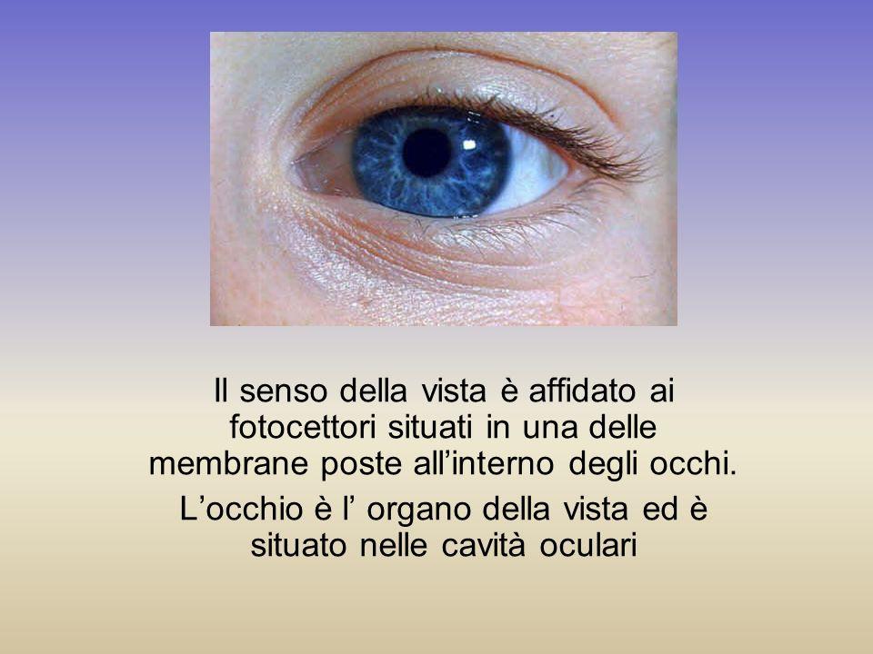 Il senso della vista è affidato ai fotocettori situati in una delle membrane poste allinterno degli occhi. Locchio è l organo della vista ed è situato