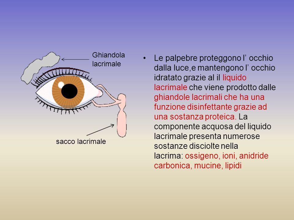 Le palpebre proteggono l occhio dalla luce,e mantengono l occhio idratato grazie al il liquido lacrimale che viene prodotto dalle ghiandole lacrimali
