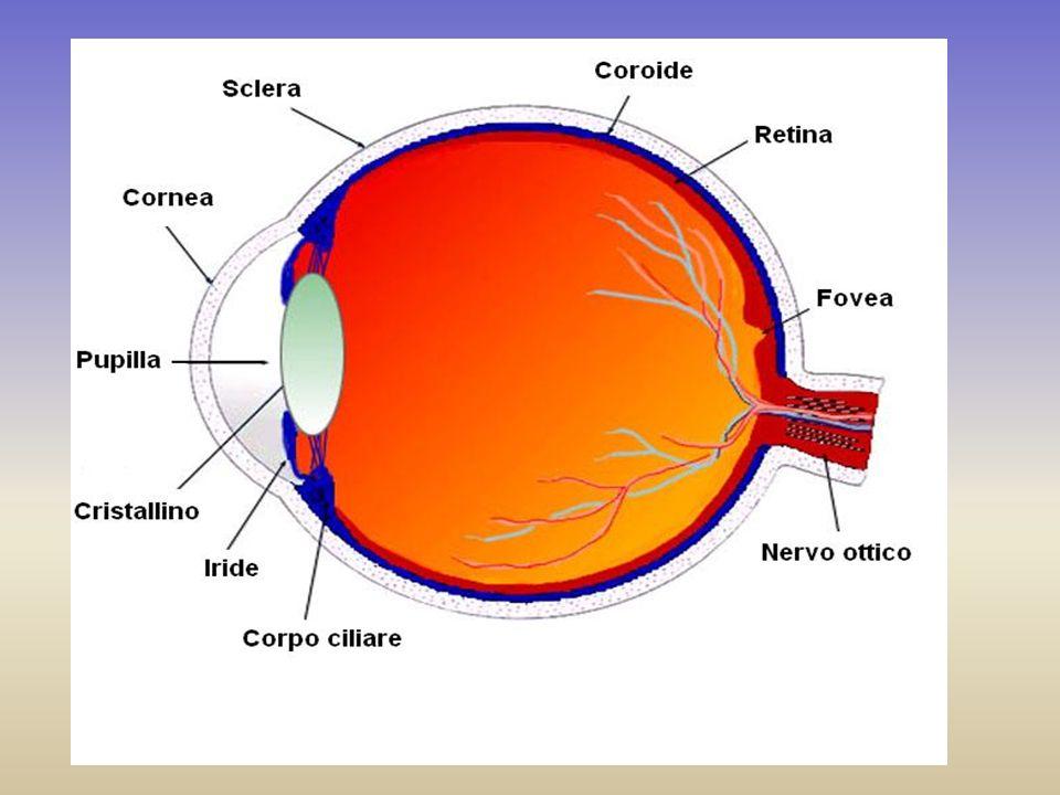In un punto della retina,la fovea, ci sono solo coni ed è qui che si formano le immagini più nitide.
