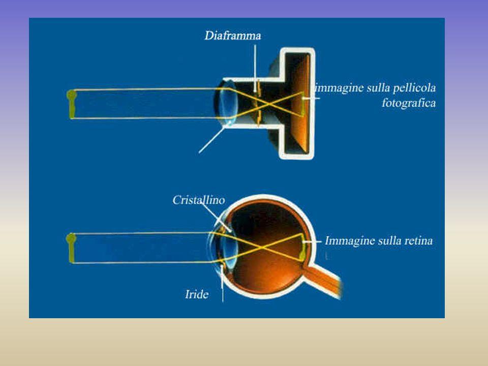 Limmagine si forma in un punto preciso della retina,la fovea,che corrisponde al fuoco del cristallino.