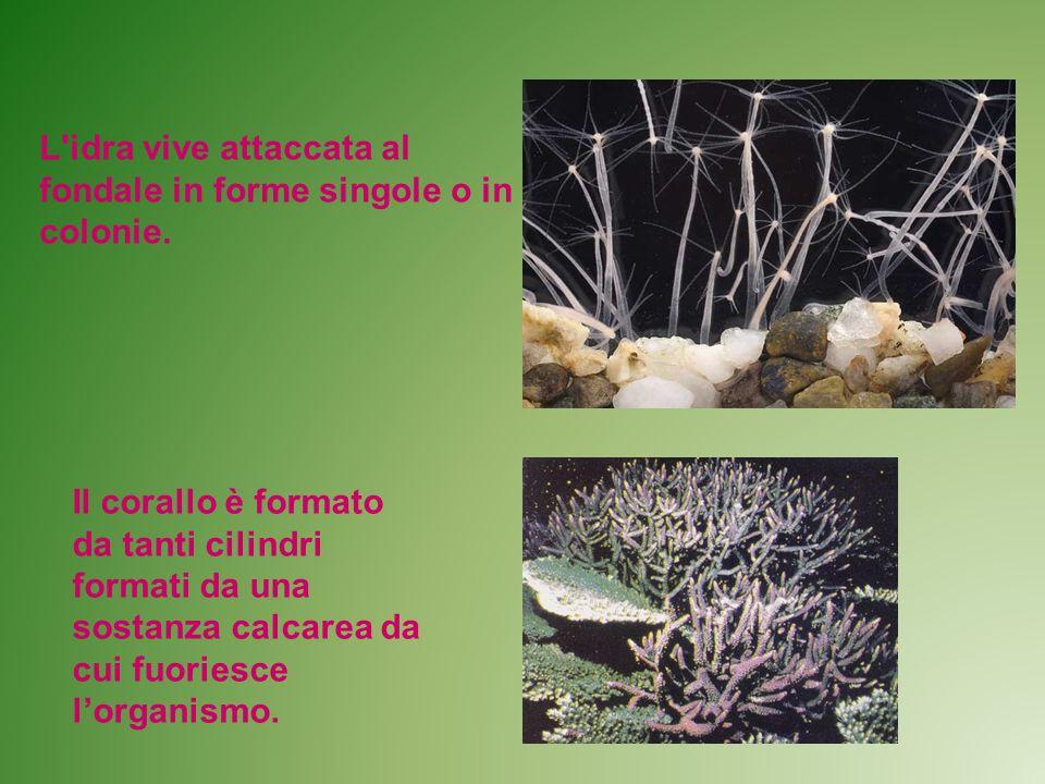 L'idra vive attaccata al fondale in forme singole o in colonie. Il corallo è formato da tanti cilindri formati da una sostanza calcarea da cui fuories