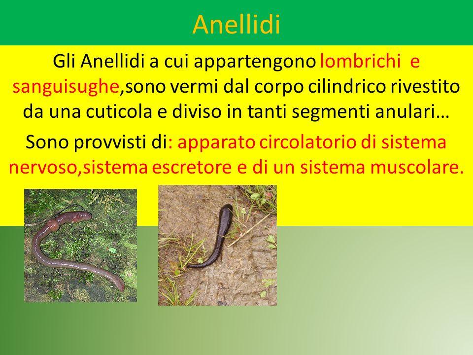 Anellidi Gli Anellidi a cui appartengono lombrichi e sanguisughe,sono vermi dal corpo cilindrico rivestito da una cuticola e diviso in tanti segmenti