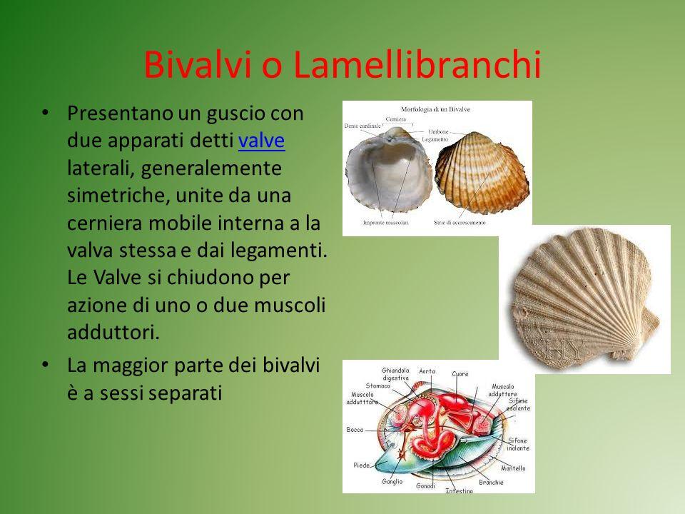 Bivalvi o Lamellibranchi Presentano un guscio con due apparati detti valve laterali, generalemente simetriche, unite da una cerniera mobile interna a