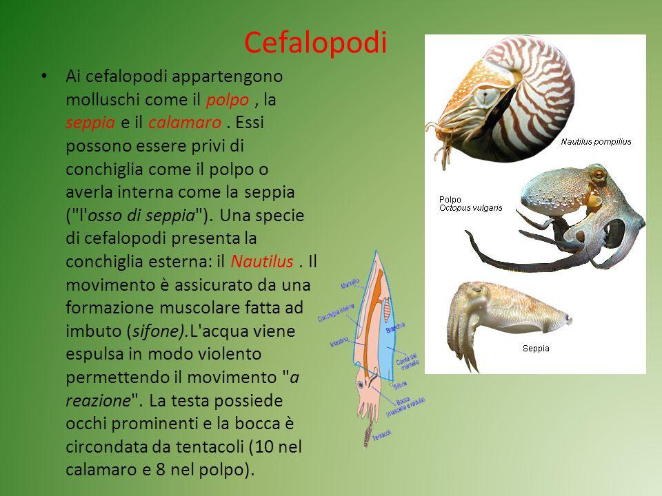 Cefalopodi Ai cefalopodi appartengono molluschi come il polpo, la seppia e il calamaro. Essi possono essere privi di conchiglia come il polpo o averla