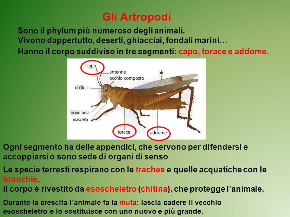 Gli Artropodi Sono il phylum più numeroso degli animali. Vivono dappertutto, deserti, ghiacciai, fondali marini… Hanno il corpo suddiviso in tre segme