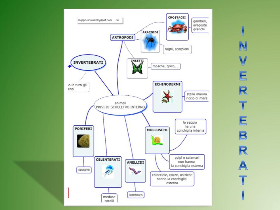 Organizzazione Corporea Come tutti gli animali, anche gli invertrebati sono pluricellulari Sono formati da più cellule che nel corso del tempo si sono specializzate e sono organizzati con strutture sempre più complesse.