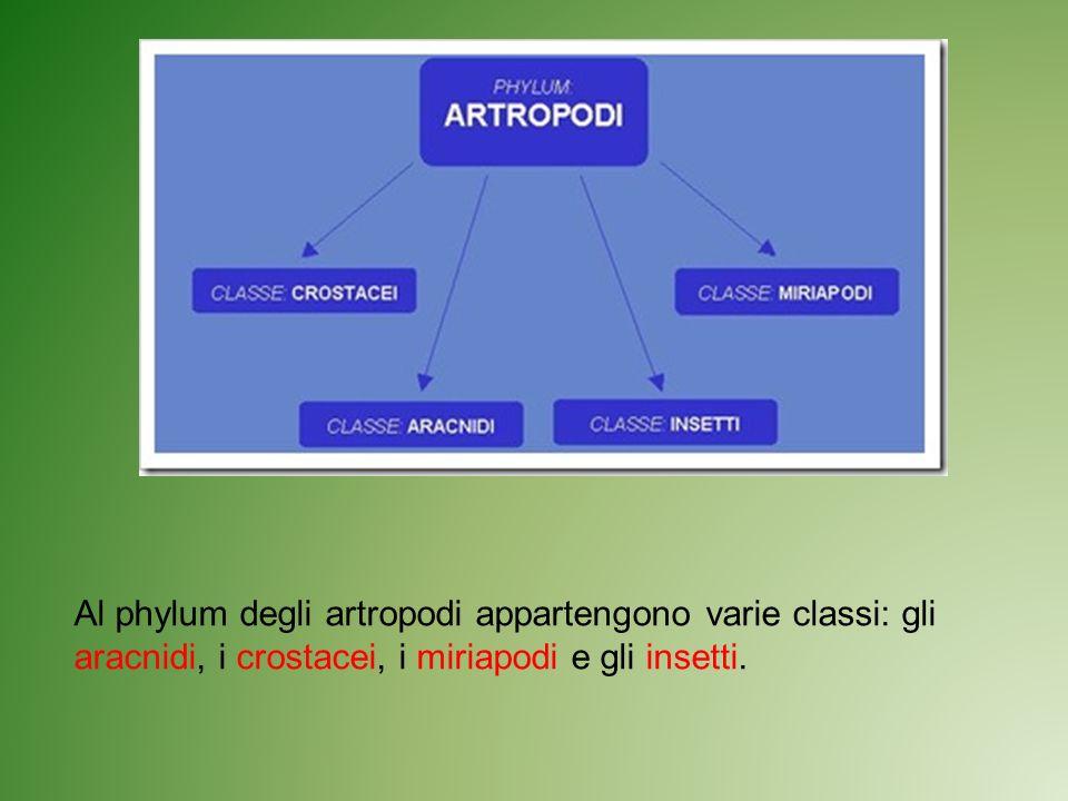 Al phylum degli artropodi appartengono varie classi: gli aracnidi, i crostacei, i miriapodi e gli insetti.