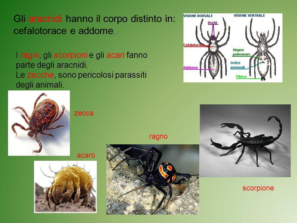 Gli aracnidi hanno il corpo distinto in: cefalotorace e addome. I ragni, gli scorpioni e gli acari fanno parte degli aracnidi. Le zecche, sono pericol