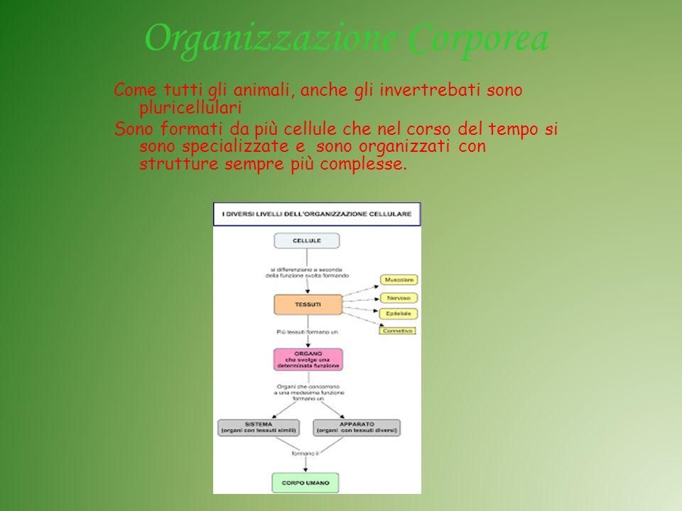 Organizzazione Corporea Come tutti gli animali, anche gli invertrebati sono pluricellulari Sono formati da più cellule che nel corso del tempo si sono