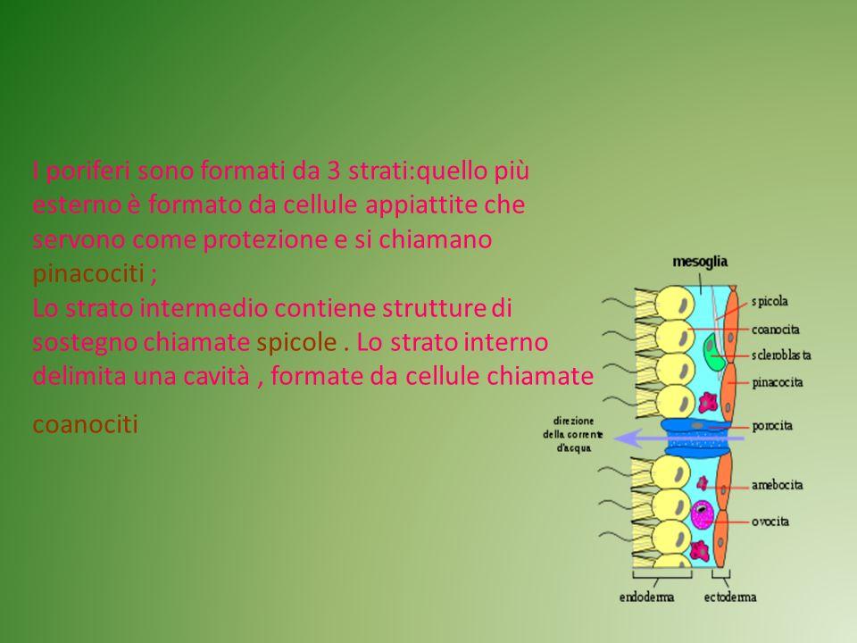I poriferi sono formati da 3 strati:quello più esterno è formato da cellule appiattite che servono come protezione e si chiamano pinacociti ; Lo strat
