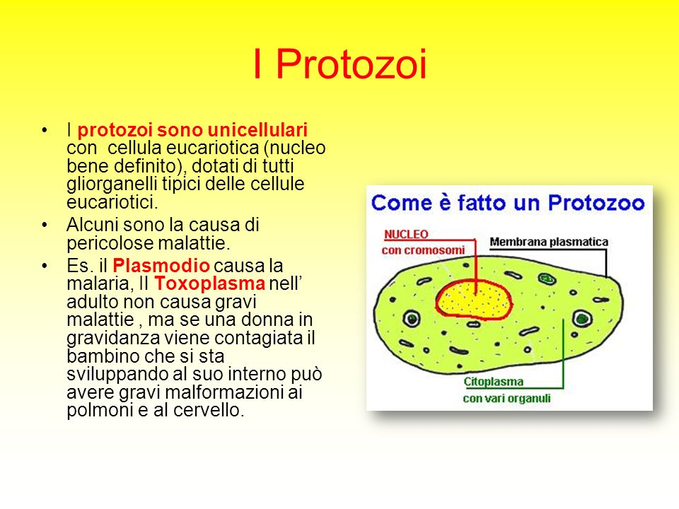 I Protozoi I protozoi sono unicellulari con cellula eucariotica (nucleo bene definito), dotati di tutti gliorganelli tipici delle cellule eucariotici.