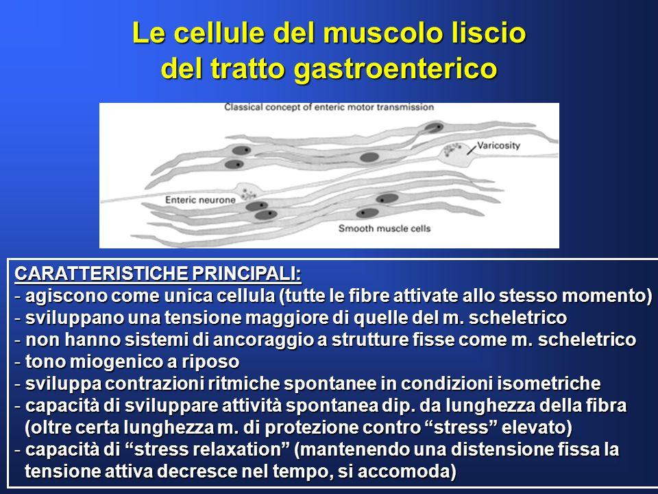 Le cellule del muscolo liscio del tratto gastroenterico CARATTERISTICHE PRINCIPALI: - agiscono come unica cellula (tutte le fibre attivate allo stesso