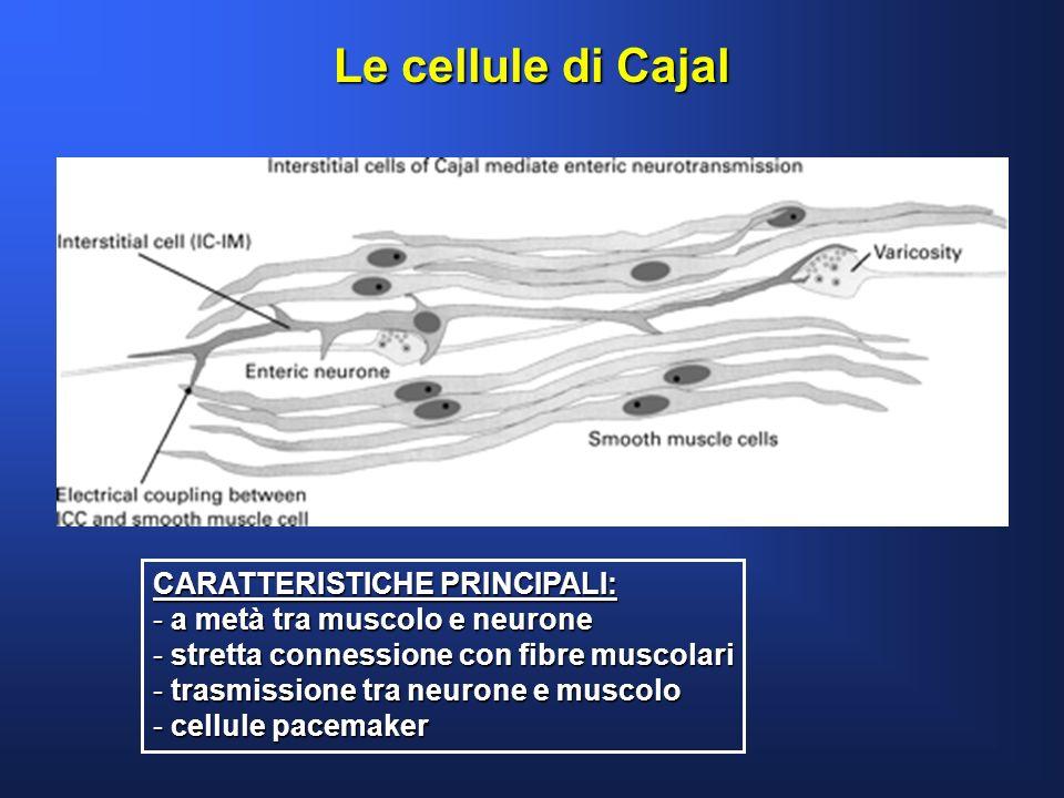 Le cellule di Cajal CARATTERISTICHE PRINCIPALI: - a metà tra muscolo e neurone - stretta connessione con fibre muscolari - trasmissione tra neurone e