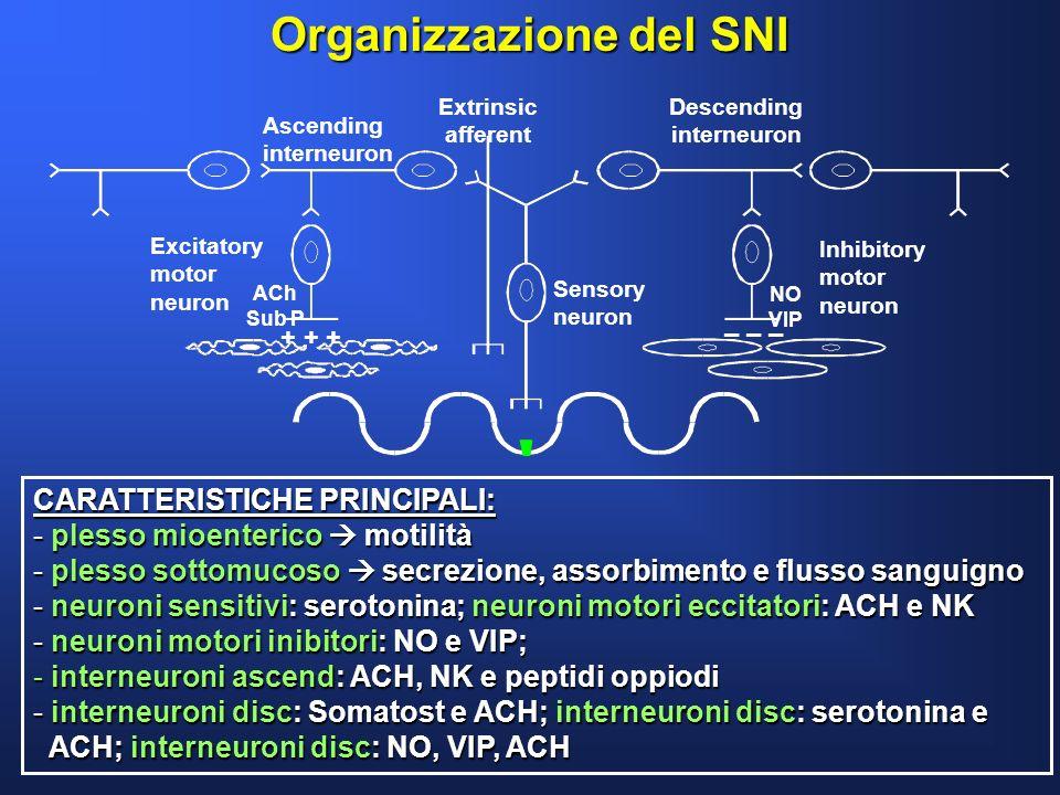 Organizzazione del SNI CARATTERISTICHE PRINCIPALI: - plesso mioenterico motilità - plesso sottomucoso secrezione, assorbimento e flusso sanguigno - ne