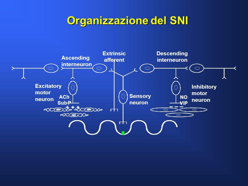 Organizzazione del SNI Sensory neuron Inhibitory motor neuron Excitatory motor neuron ACh Sub P NO VIP Extrinsic afferent + + + – – – Descending inter