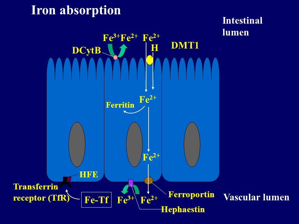 Fe 3+ Fe 2+ DCytB Fe 2+ Ferritin Fe 2+ H+H+ DMT1 Fe 2+ Ferroportin Fe 3+ Hephaestin Fe-Tf Intestinal lumen Vascular lumen Transferrin receptor (TfR) H