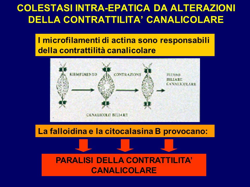 COLESTASI INTRA-EPATICA DA ALTERAZIONI DELLA CONTRATTILITA CANALICOLARE I microfilamenti di actina sono responsabili della contrattilità canalicolare