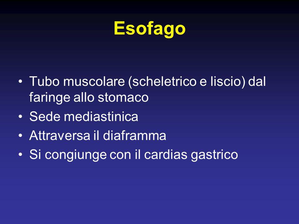 Esofago Tubo muscolare (scheletrico e liscio) dal faringe allo stomaco Sede mediastinica Attraversa il diaframma Si congiunge con il cardias gastrico