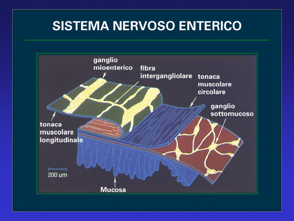 DOLORE TORACICO MECCANISMI FISIOPATOLOGICI Sistema nervoso simpatico Midollo spinaleCentri cerebrali Nocicettori e meccanocettori esofagei Afferenze somatiche e viscerali negli stessi neuroni delle corna dorsali Difficoltà nel distinguere un dolore toracico di origine cardiaca da quello di origine esofagea