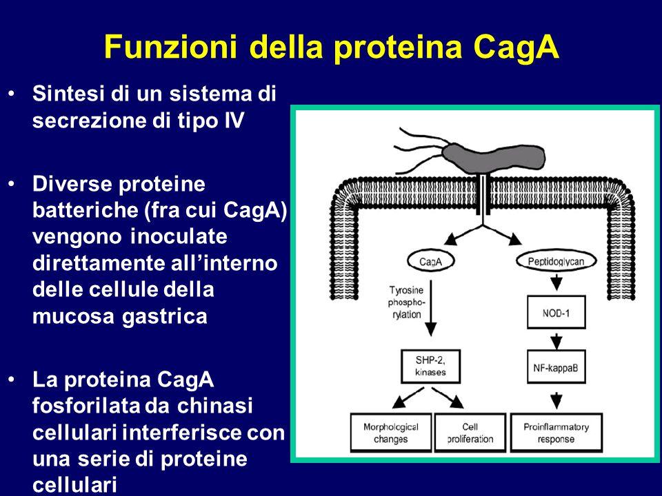 Funzioni della proteina CagA Sintesi di un sistema di secrezione di tipo IV Diverse proteine batteriche (fra cui CagA) vengono inoculate direttamente allinterno delle cellule della mucosa gastrica La proteina CagA fosforilata da chinasi cellulari interferisce con una serie di proteine cellulari