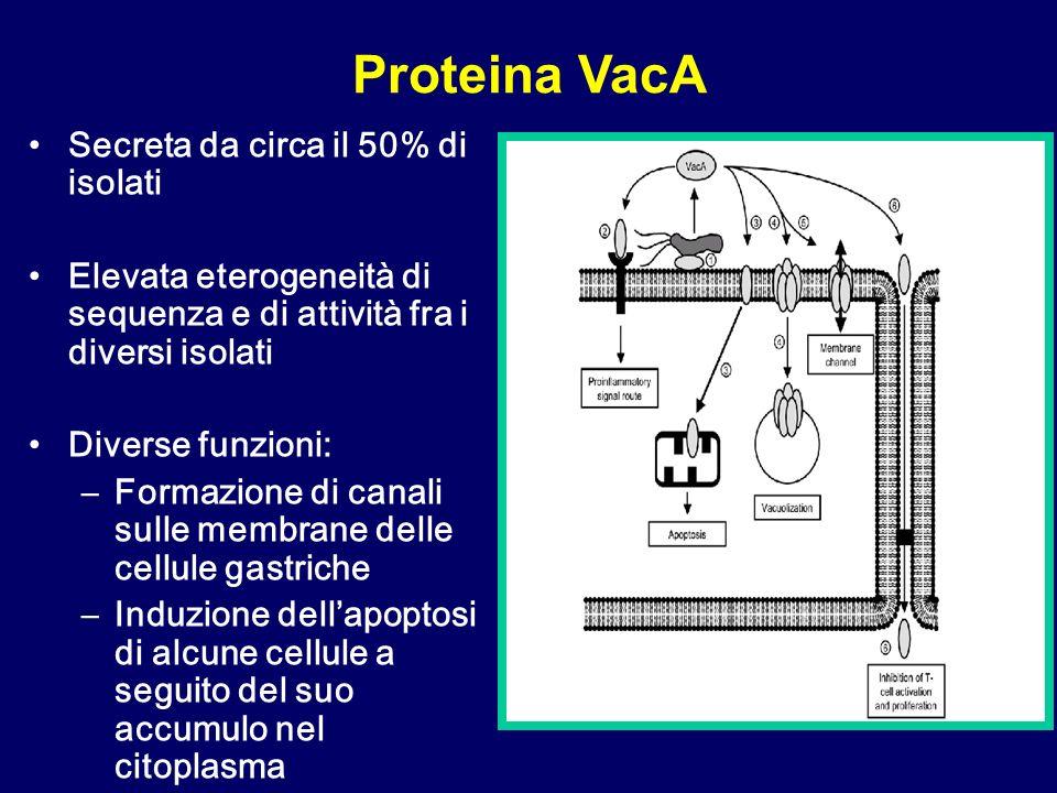 Secreta da circa il 50% di isolati Elevata eterogeneità di sequenza e di attività fra i diversi isolati Diverse funzioni: –Formazione di canali sulle membrane delle cellule gastriche –Induzione dellapoptosi di alcune cellule a seguito del suo accumulo nel citoplasma Proteina VacA