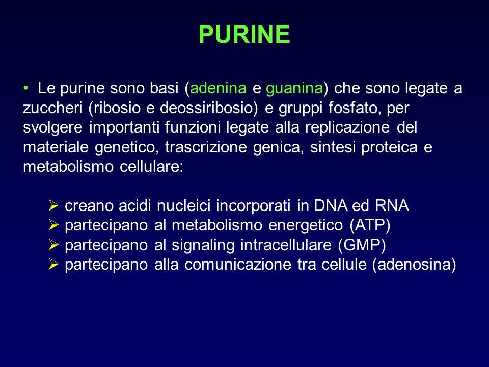 ACIDO URICO Lacido urico è il prodotto catabolico finale del metabolismo delle purine è un acido debole che si ritrova in forma ionizzata (urato monosodico) se i liquidi corporei che contengono acido urico divengono soprasaturi, lacido urico può precipitare formando cristalli la saturazione dipende dalla temperatura, dal pH, dalla concentrazione di sodio e da altre caratteristiche dei liquidi biologici: il plasma si satura a concentrazioni >7 mgdl (0.41 mmol/L) a pH7.4, 37°C e normale concentrazione di sodio i tessuti avascolari (cartilagini) o poco vascolarizzati (tendini e legamenti) o più distali (padiglione auricolare) sono più freddi e si saturano a concentrazioni inferiori: >4 mg/dl a 30°C nelle urine la solubilità è molto più alta: urea, proteine e mucopolisaccaridi aumentano la solubilità, lacidità la diminuisce.