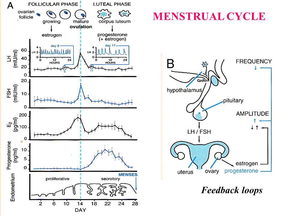 Feedback loops MENSTRUAL CYCLE