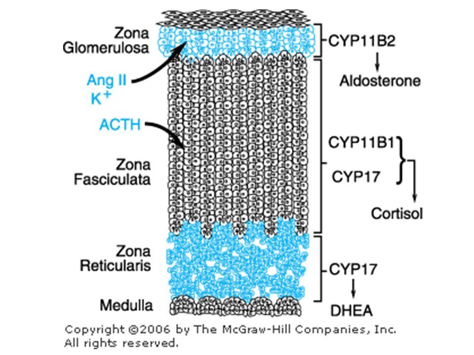 REGOLAZIONE DELLA SECREZIONE DI ACTH AVP (Arg-VP) CRH + + G PLC + IP 3, DAG G AC cAMP + + POMC ACTH CORTISOLO - - - IPOTALAMO Nucleo paraventricolare Eminenza mediana IPOFISI