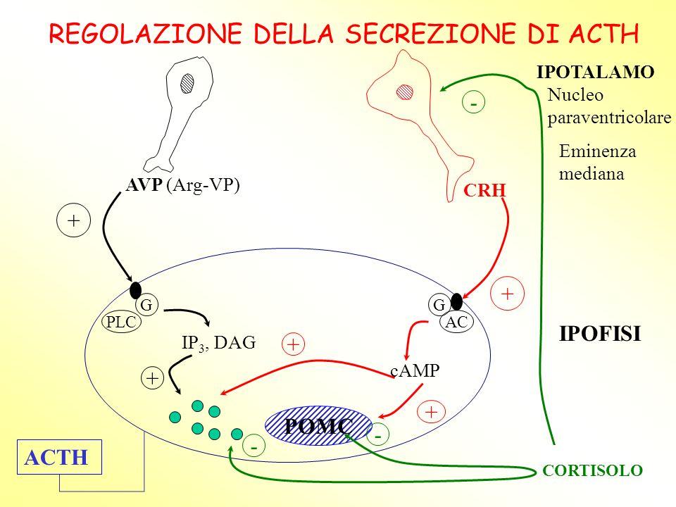 REGOLAZIONE DELLA SECREZIONE DI ACTH AVP (Arg-VP) CRH + + G PLC + IP 3, DAG G AC cAMP + + POMC ACTH CORTISOLO - - - IPOTALAMO Nucleo paraventricolare