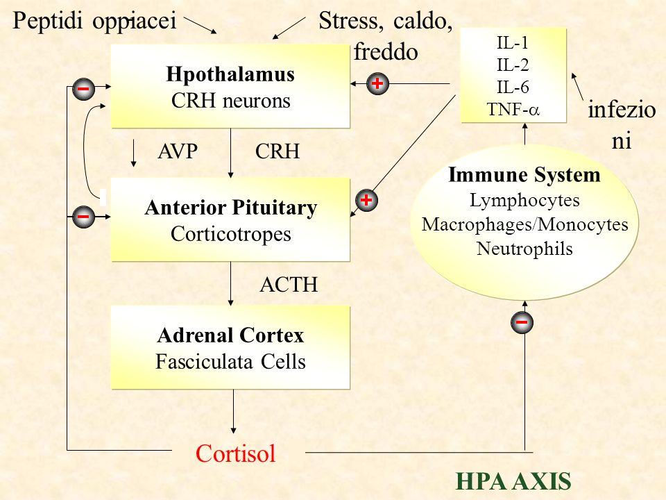 G AC cAMP Sintesi steroidi (Angiotensina II) (zona glomerulosa) Corticale del surrene Risposta acuta (secondi, minuti) Aumentata disponibilità di colesterolo per gli enzimi biosintetici Risposta cronica (ore, giorni) Aumentata espressione di enzimi biosintetici In assenza di ACTH: atrofia della zona fascicolata/reticolare ACTH (recettore MC2R)