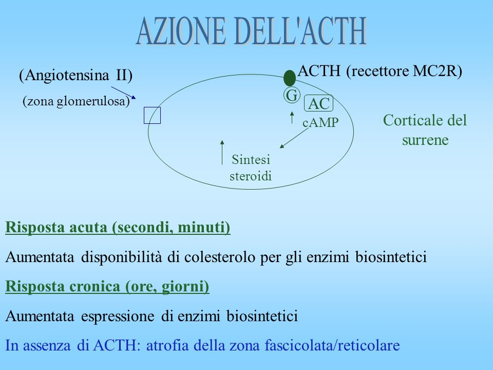 G AC cAMP Sintesi steroidi (Angiotensina II) (zona glomerulosa) Corticale del surrene Risposta acuta (secondi, minuti) Aumentata disponibilità di cole