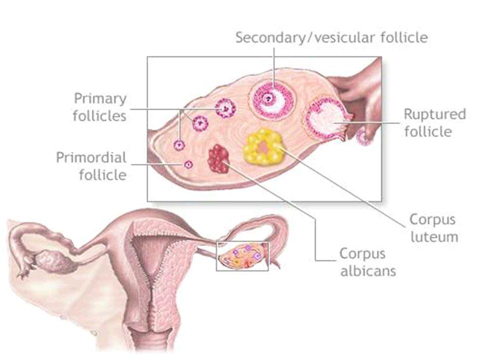CICLO MESTRUALE Durata media: 28 giorni (range 21-35) Donne giovani (25-30 anni) -> minor variabilità e cicli più lunghi Inizio: primo giorno di mestruazione Fase follicolare -> ovulazione -> fase luteale 14 gg (circa) 14 gg Durata media: 28 giorni (range 21-35) Donne giovani (25-30 anni) -> minor variabilità e cicli più lunghi Inizio: primo giorno di mestruazione Fase follicolare -> ovulazione -> fase luteale 14 gg (circa) 14 gg