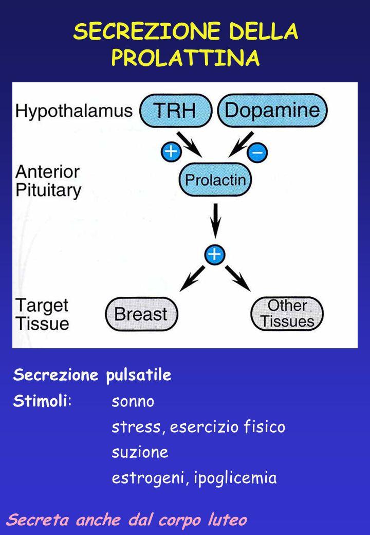 SECREZIONE DELLA PROLATTINA Secrezione pulsatile Stimoli:sonno stress, esercizio fisico suzione estrogeni, ipoglicemia Secreta anche dal corpo luteo