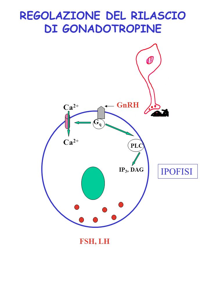 REGOLAZIONE DEL RILASCIO DI GONADOTROPINE GqGq PLC Ca 2+ GnRH IP 3, DAG FSH, LH IPOFISI