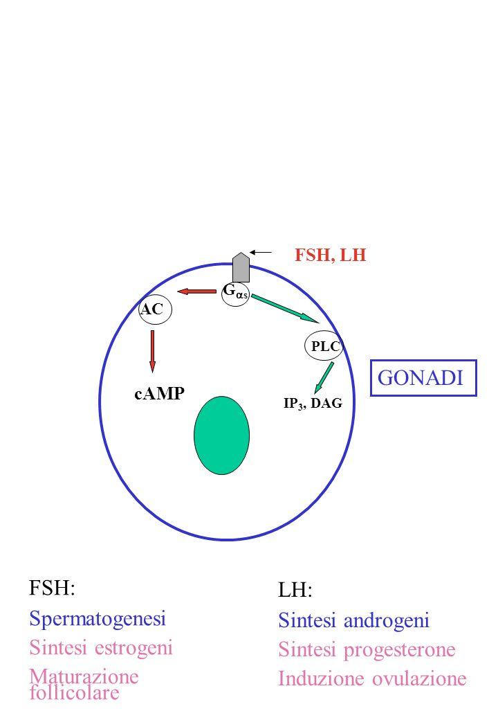 G s PLC IP 3, DAG FSH, LH AC cAMP GONADI FSH: Spermatogenesi Sintesi estrogeni Maturazione follicolare LH: Sintesi androgeni Sintesi progesterone Indu