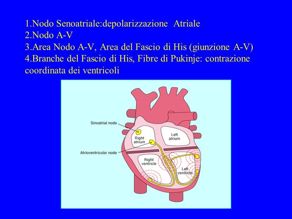 1.Nodo Senoatriale:depolarizzazione Atriale 2.Nodo A-V 3.Area Nodo A-V, Area del Fascio di His (giunzione A-V) 4.Branche del Fascio di His, Fibre di P