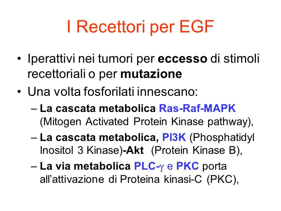Iperattivi nei tumori per eccesso di stimoli recettoriali o per mutazione Una volta fosforilati innescano: –La cascata metabolica Ras-Raf-MAPK (Mitoge