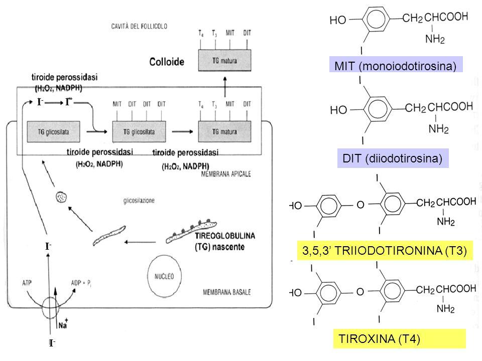 MIT (monoiodotirosina) DIT (diiodotirosina) 3,5,3 TRIIODOTIRONINA (T3) TIROXINA (T4) I-I- I-I- I*I* I-I-