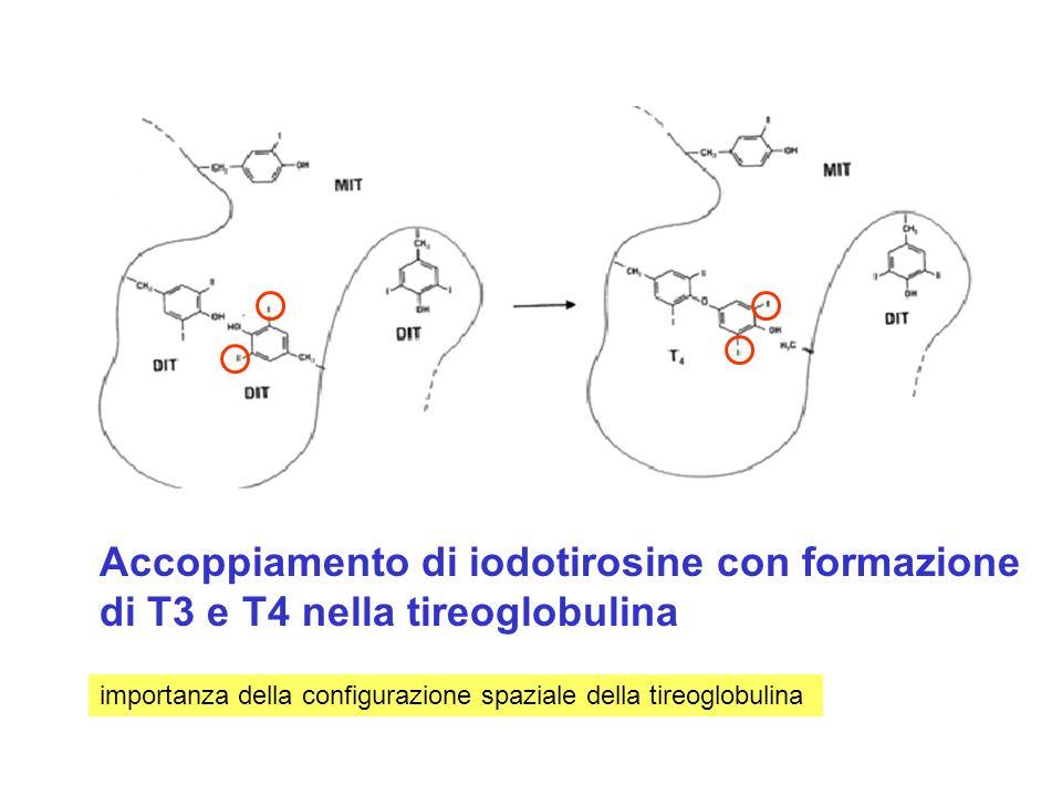 Accoppiamento di iodotirosine con formazione di T3 e T4 nella tireoglobulina importanza della configurazione spaziale della tireoglobulina