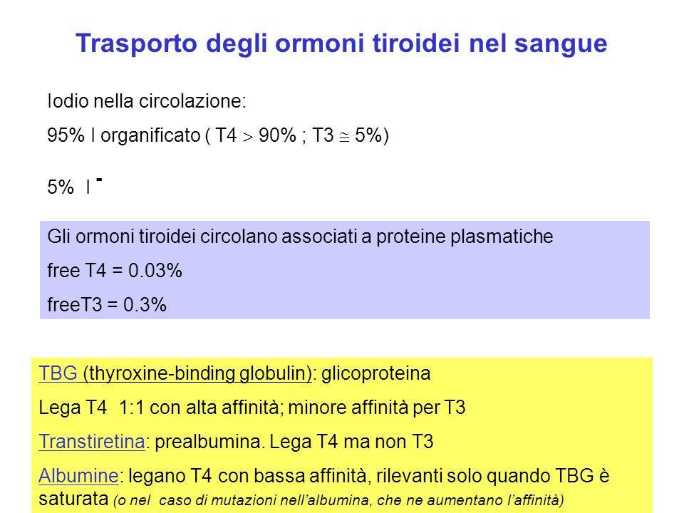 Trasporto degli ormoni tiroidei nel sangue Iodio nella circolazione: 95% I organificato ( T4 90% ; T3 5%) 5% I - TBG (thyroxine-binding globulin): gli