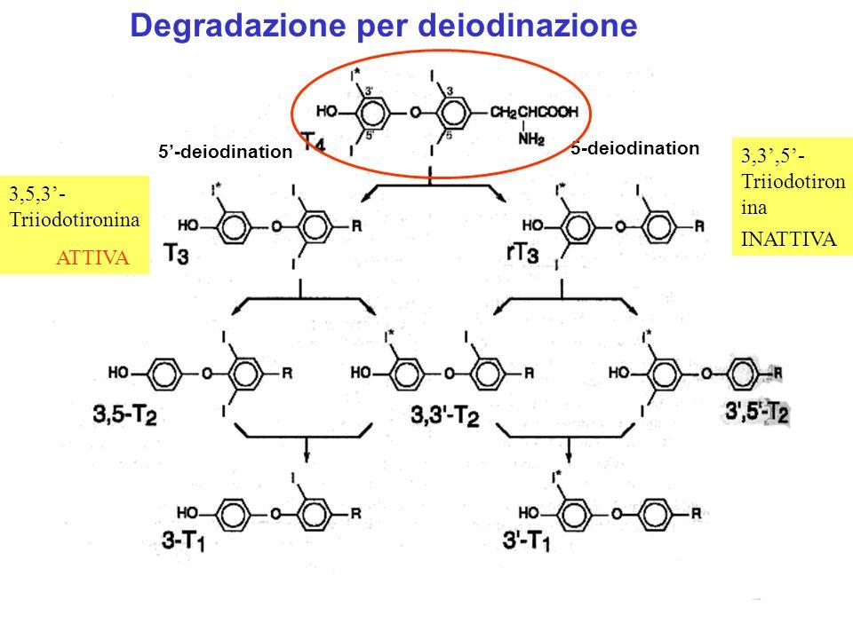 Conversione T4T3 nei tessuti periferici (fegato, rene) 80% di T3 circolante deriva dalla monodeiodinazione di T4 nei tessuti periferici 1/3 T4 convertito in T3 T3 è 4-5 volte più attiva di T4 (a carico della iodotironina 5-deiodinasi)
