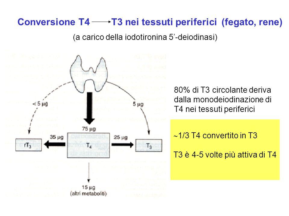 Conversione T4T3 nei tessuti periferici (fegato, rene) 80% di T3 circolante deriva dalla monodeiodinazione di T4 nei tessuti periferici 1/3 T4 convert